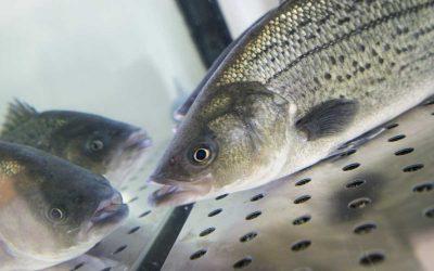 Persico trota (Black bass)